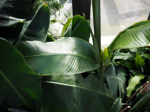 Bombay Sapphire botanicals